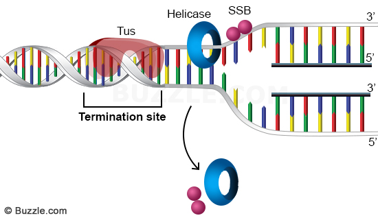dna-replication-termination-7.jpg