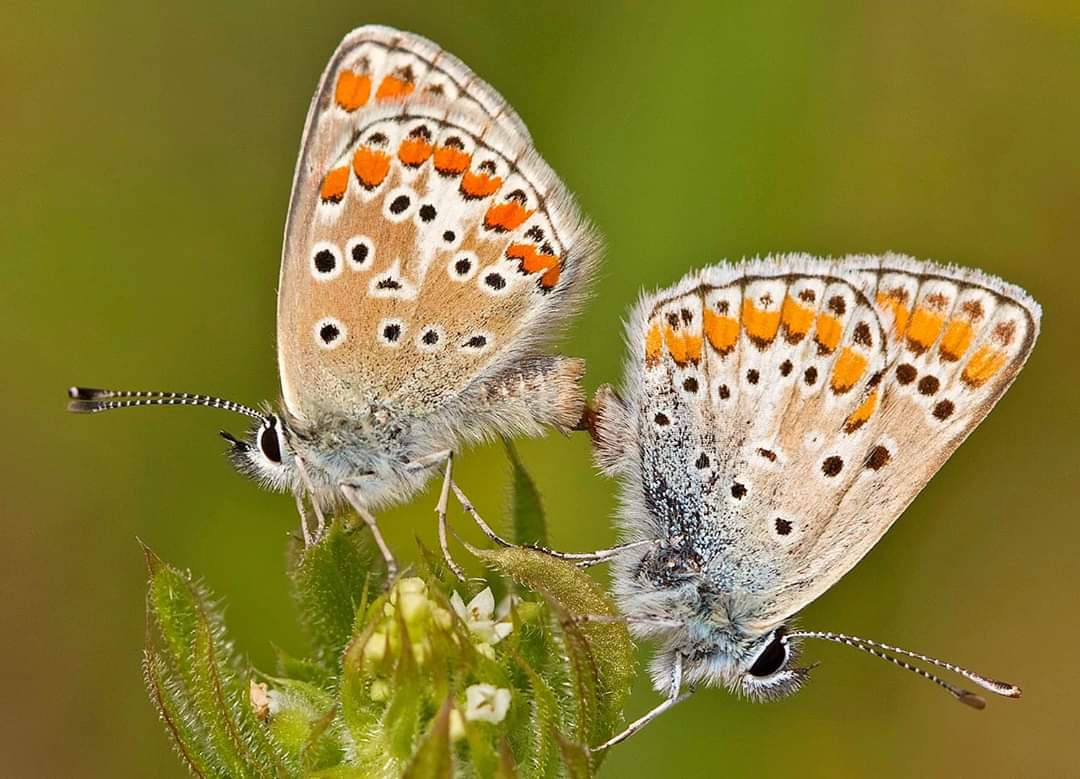Fotoğraf: Ergün Bacak Polyommatus/Aricia agestis