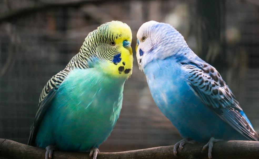 Muhabbet Kuşları Nasıl Beslenir ?