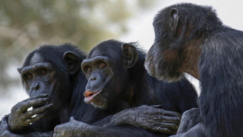 Şempanzeler neden konuşamaz?