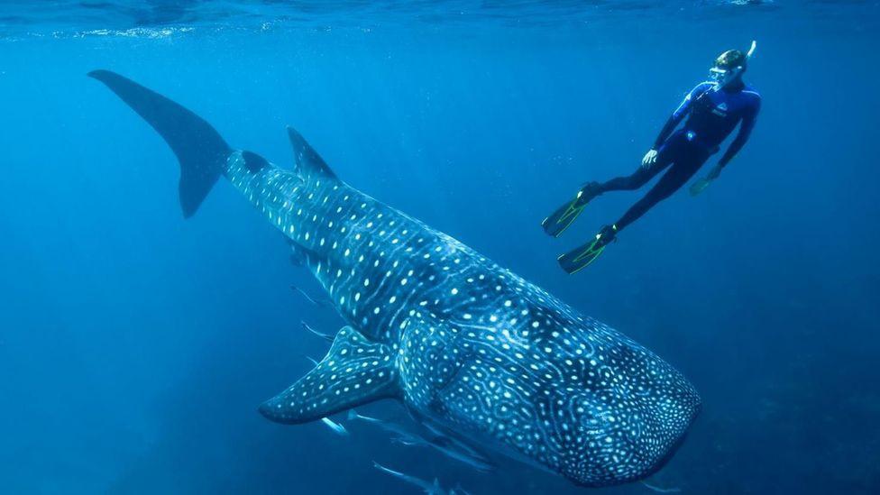 Atomik testler dünyanın en büyük balığının yaş gizemini çözdü