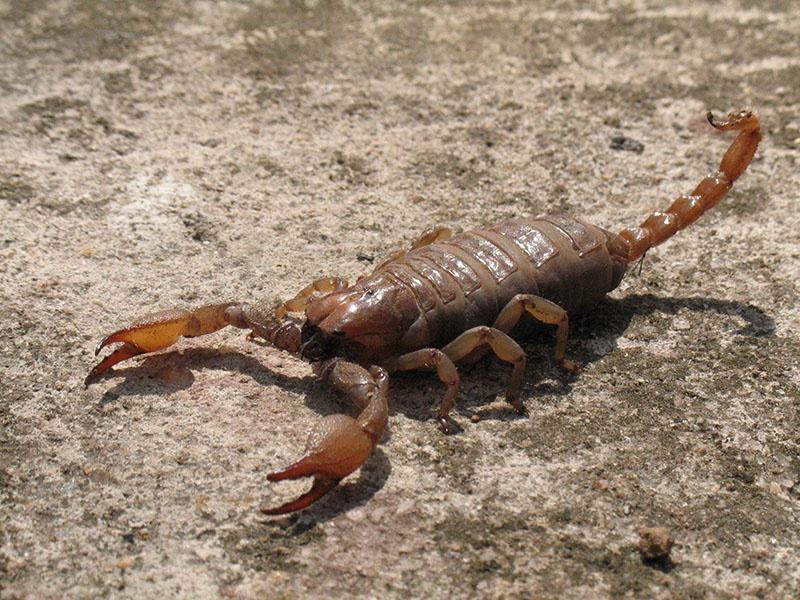 İğrenme değil öğrenme zamanı: Akrepler böcek midir?
