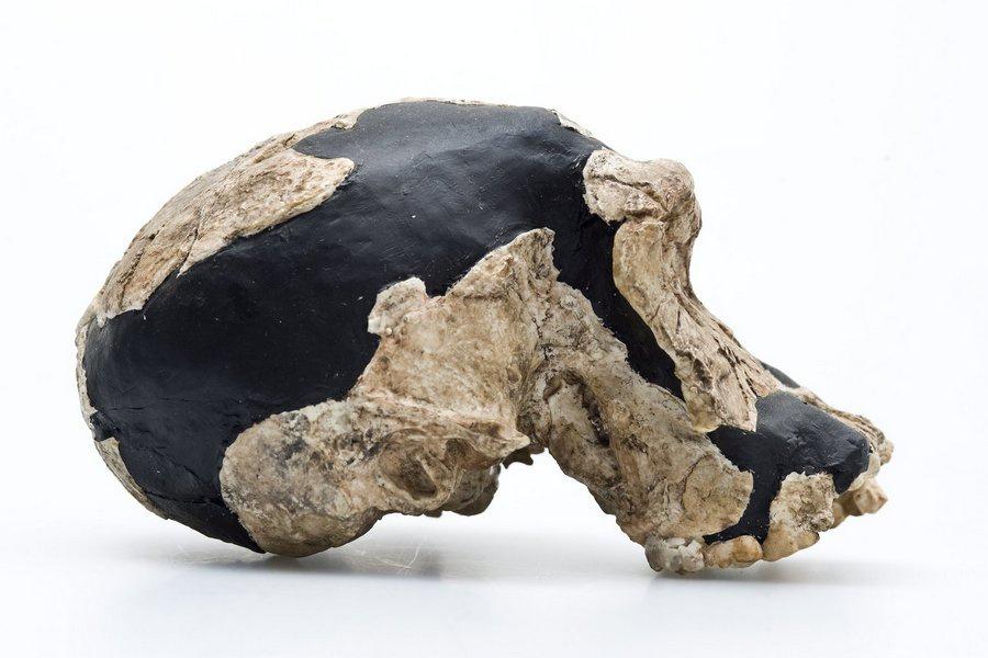 İnsan evriminin önemli evrelerini oluşturan başlıca fosil primatlar nelerdir?