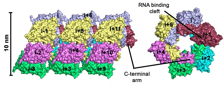 Structure of a hantavirus protein as a promising model for drug design