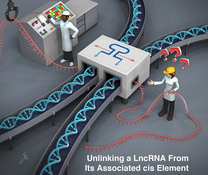 Function of mysterious RNAs may often lie in their genes