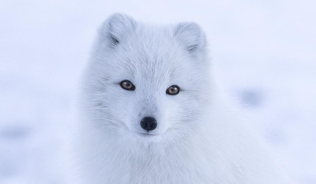 Değişen Kutup iklimi koşulları savunmasız türleri nasıl etkiliyor