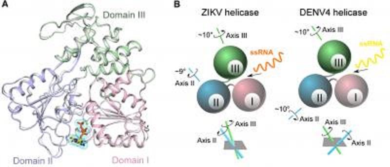 Cracking the mystery of Zika virus replication