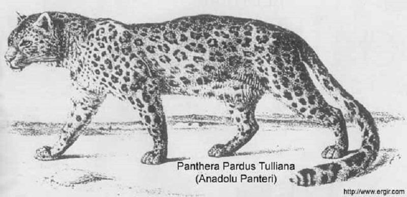 Anadolu parsı - Anadolu panteri - Panthera Pardus Tulliana
