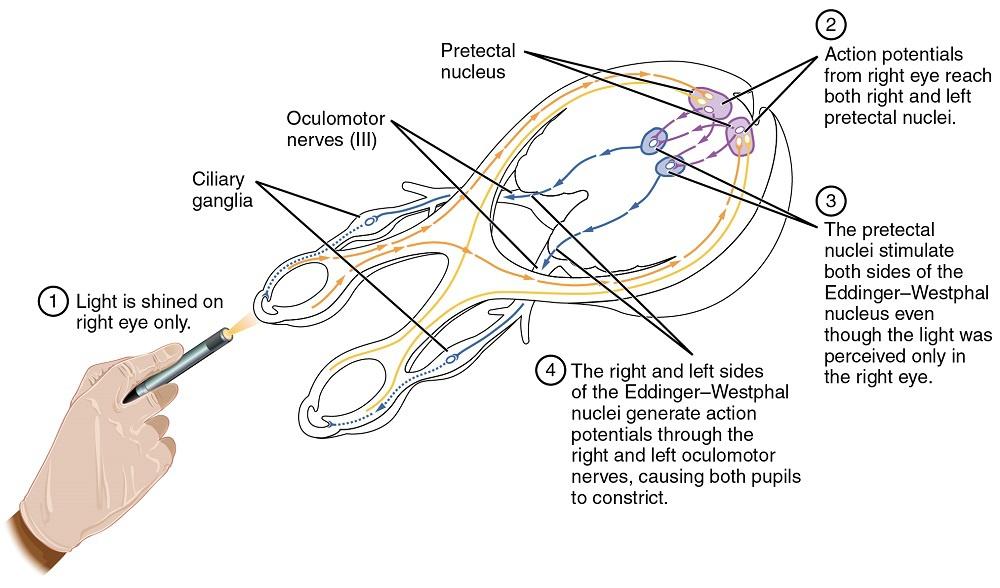 Pupiller Refleks Yolları Şekil 1