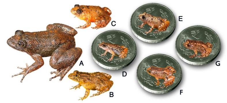 Hindistanda 4 Minyatür Form İçeren Yedi Yeni Gece Kurbağası Türü