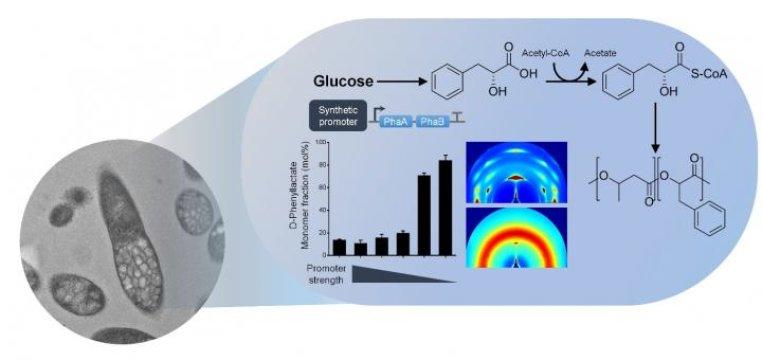 E. coli Suşları İle Aromatik Poliesterlerin Bir Basamaklı Üretimi