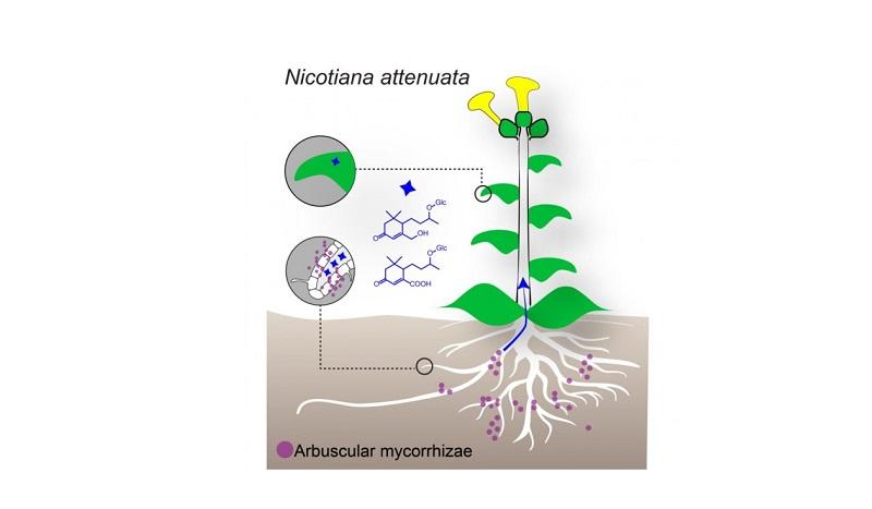 Yaprak Molekülleri Mikorizal Birlikler İçin Markör Görevi Taşıyor