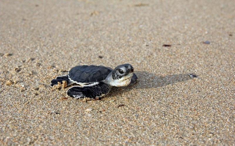 İklim Değişikliği, Kaplumbağalarda Dişi Birey Sayısının Artmasına Neden Oluyor.