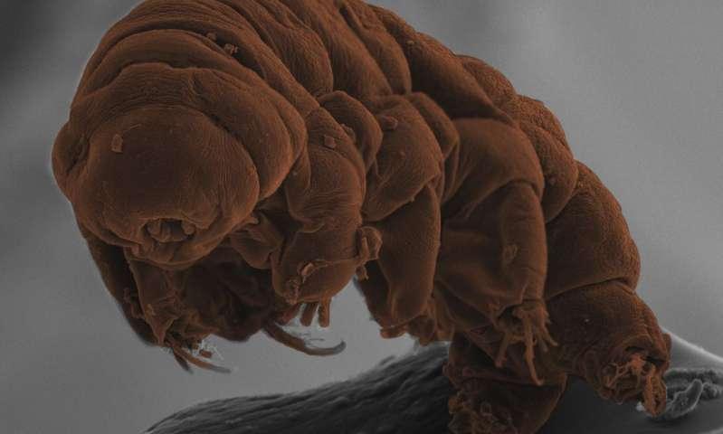 Tardigradların - Su ayıcıkları + 150 °C ve -272 °C sıcaklıkta yaşayabilirler