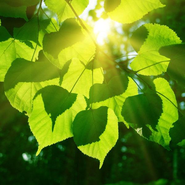 Güneş ışığı ve yapraklar. Credit: © Elena Volkova / Adobe Stock