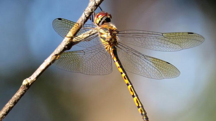 Matematik, yusufçuk kanatlarının hassas desenlerini nasıl açıklar?