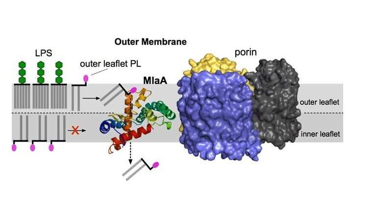Bakterilerde asimetrinin önemi