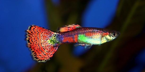 Akvaryum Balıklarında Bakım Ve Besleme