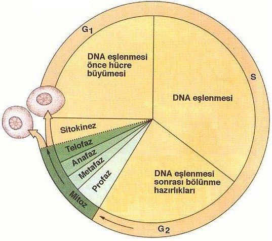 Hücre Döngüsü ve Polimorfizm