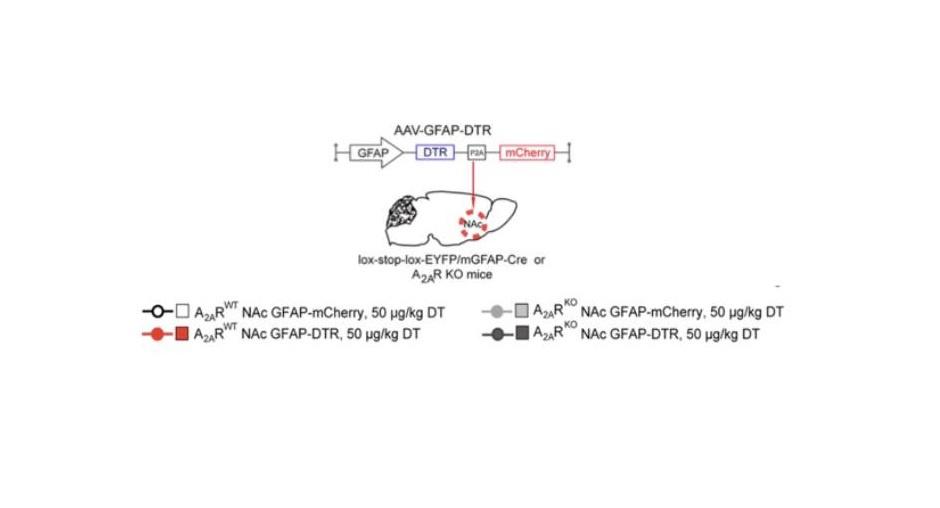 Nucleus accumbens'ın uyku oluşturucu fonksiyonun moleküler temeli aydınlatıldı.