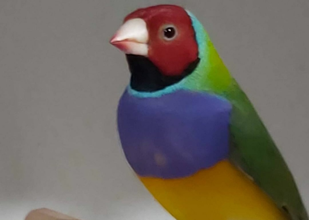 Kuşlar da Kalsiyumun Eksikliğinde ortaya çıkan semptomlar?