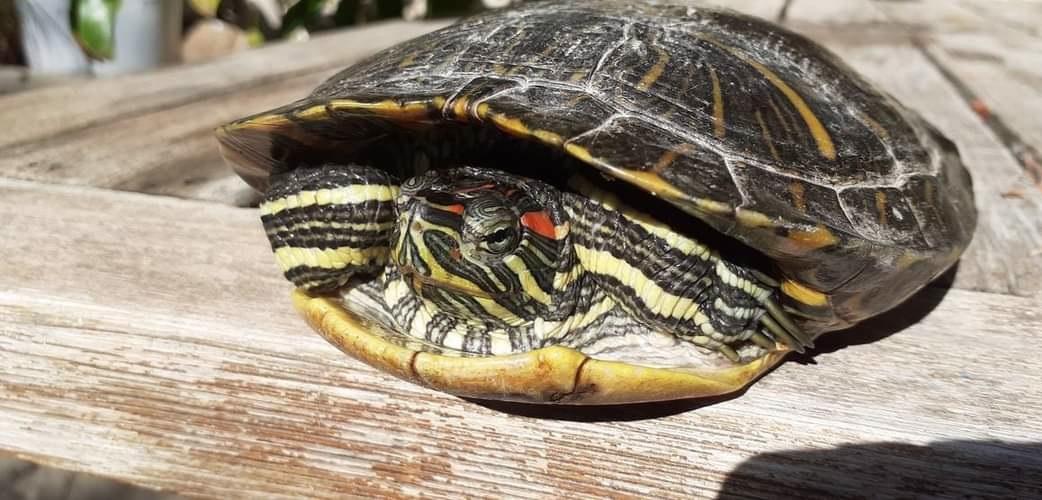 Caretta Değil, Kırmızı Yanaklı Su Kaplumbağası