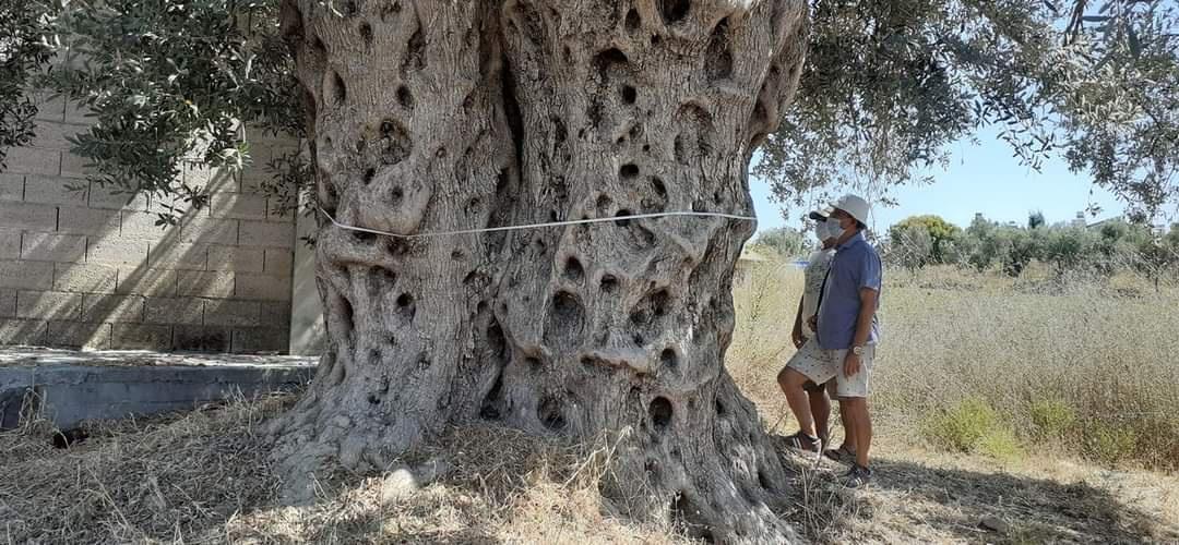 1500 Yıllık Zeytin Ağacının Tescil Çalışmaları Başlatıldı