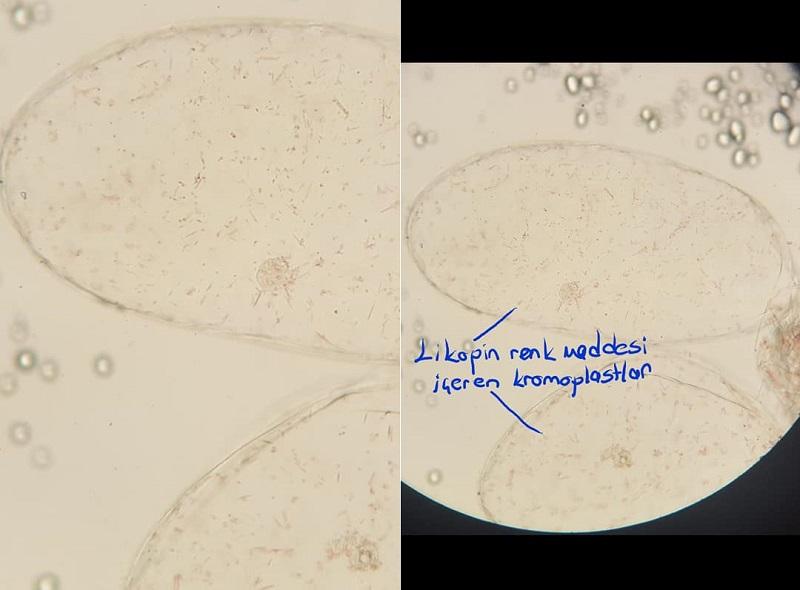 Likopin pigmenti içeren kromoplastlar