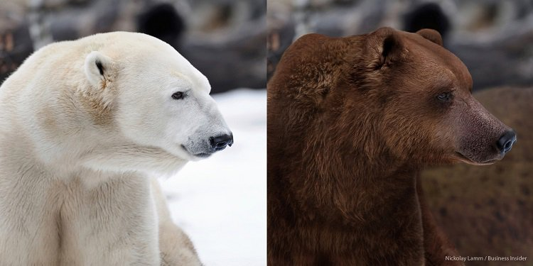 Kutup Ayısı ile Boz Ayı Melezleri Kuzey Kutbunda Çoğalıyor