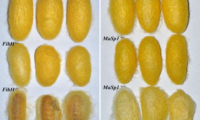 Gen düzenleme tekniği kullanılarak ipek böceğinden ipek üretimi gerçekleştirildi.