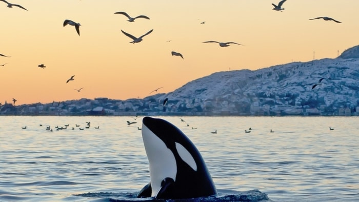 Katil balinaların yarısı kirlilik nedeniyle yok olmaya mahkum