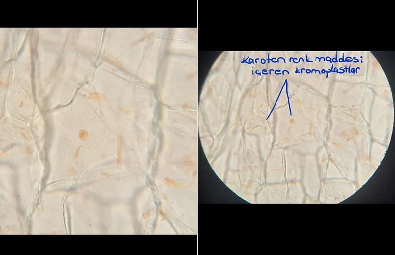Karoten renk maddesi içeren kromoplastlar