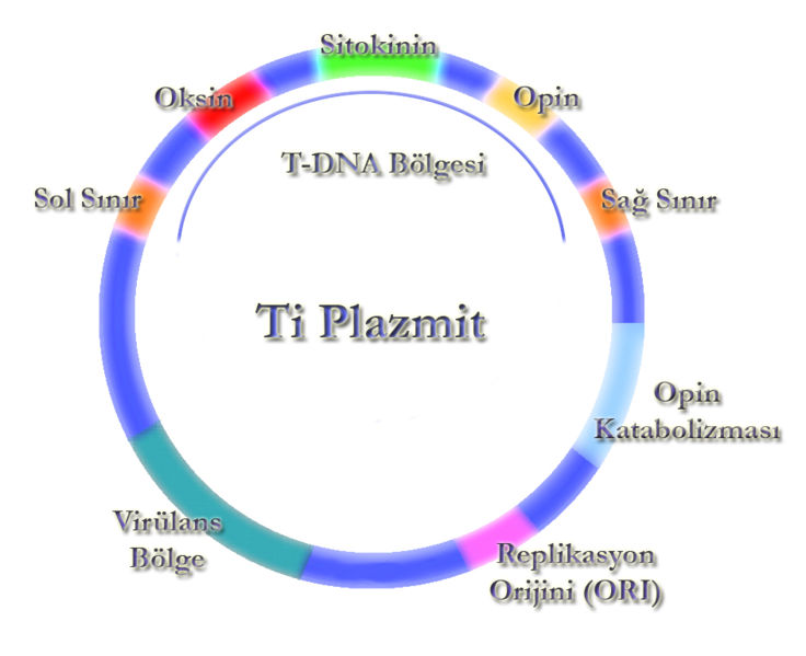 Gen Klonlanmasında Rekombinant DNA Teknolojisi