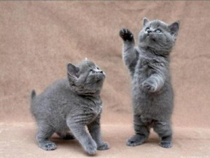 Kediler Niçin Pirelenir Ve Pirelerden Nasıl Kurtarılırlar?