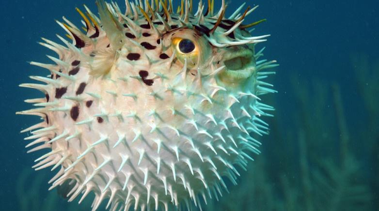 Kirpi balığı ve özellikleri