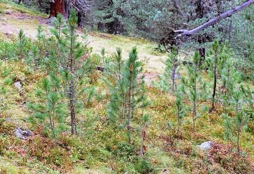 Alpin zonda ormanın tekrardan iyileşmesi.