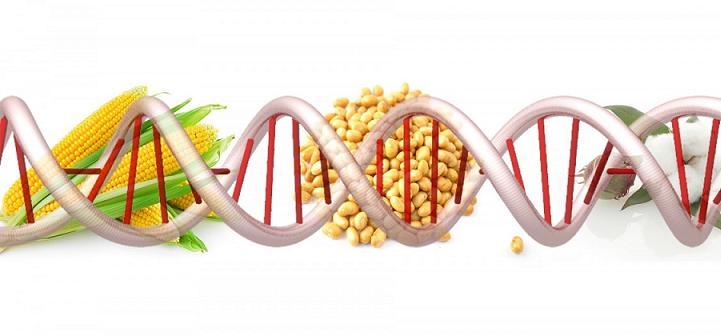 Genetiği Değiştirilmiş Organizmalar: Genel Bakış, Ürünlere Örnekler ve Dikkat Edilmesi Gereken Sorunlar