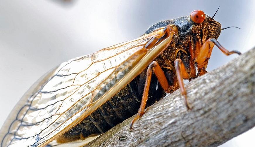 Ağustos böceğinin ilginç özellikleri