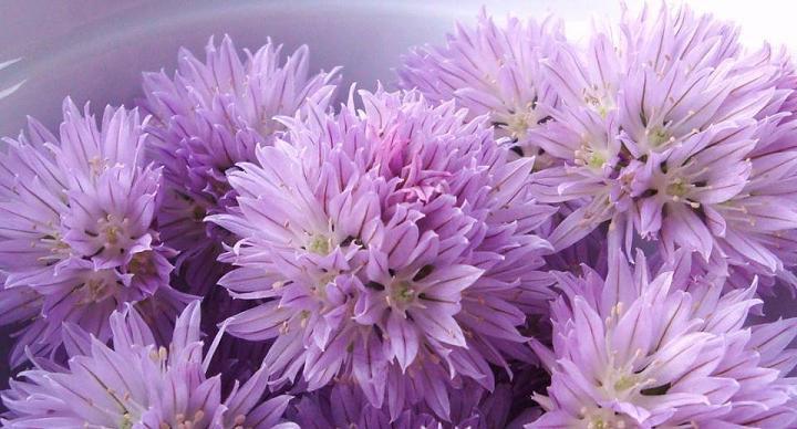 PEYNİR SİRMOSU-FRENK SOĞANI- Allium schoenoprasum L.