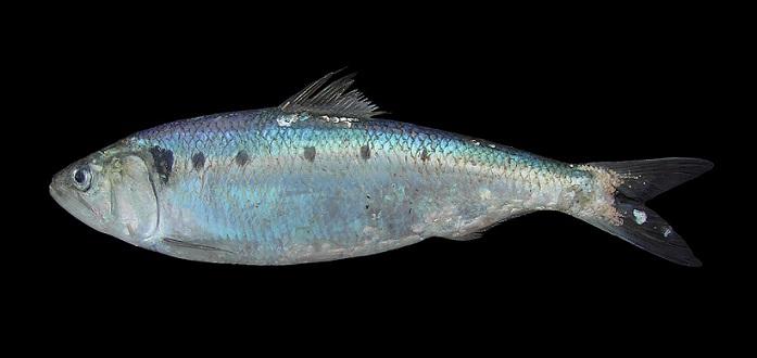 Tirsi (Alosa fallax nilotica)