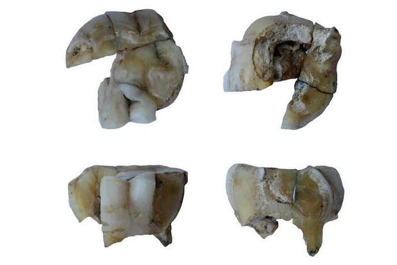 14.000 yıl önce yaşayan adamın dişi. C: G. Pavlenok