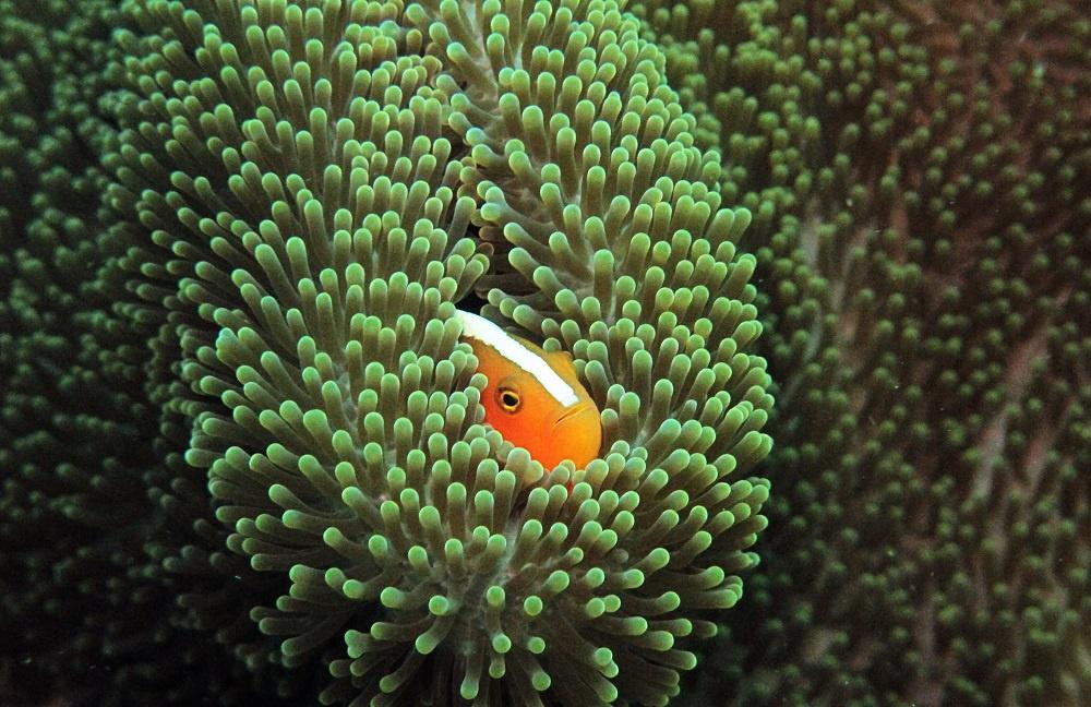 Deniz Anemonları - Denizşakayığı -