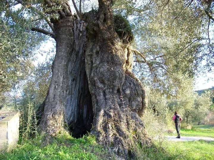 Kuşadası 3 Anıt Ağaç Daha Kazandı