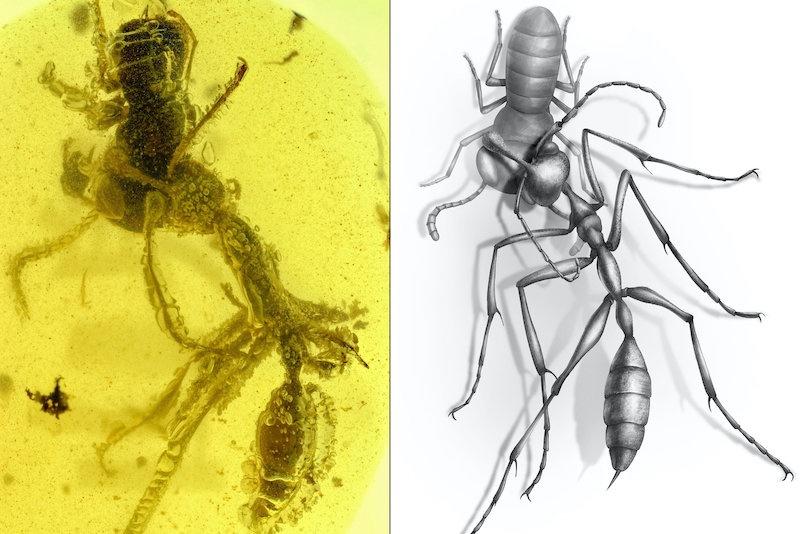 Araştırmacılar, 99 milyon yıl öncesine tarihlenen, kehribar içinde Caputoraptor elegans nimfasını avlamış halde bulunan işçi bir cehennem karıncası (Ceratomyrmex ellenbergeri) keşfetti. C: NJIT