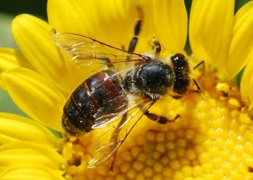 Varroa Hastalığı - Arı akarı - Parazit Akarlar