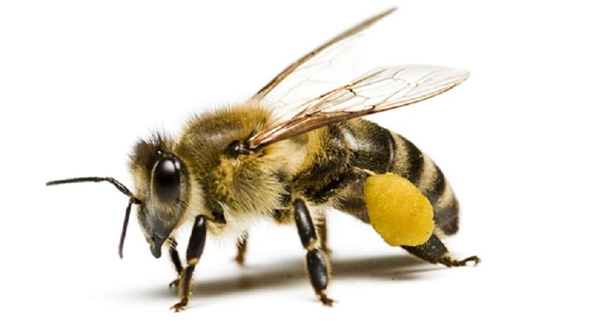 Arıların Neonikotinoidlere Moleküler Yanıtları Belirlendi.