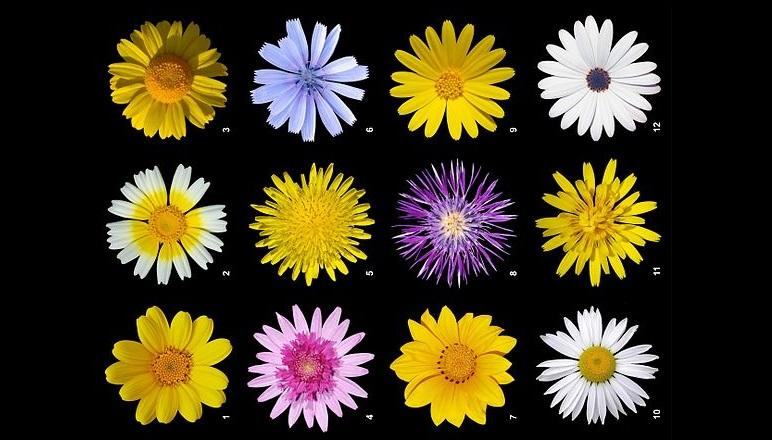 Papatyagiller - Asteraceae Hakkında Bilgi