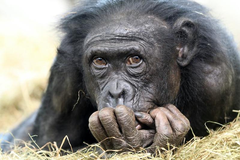 Evrimsel açıdan bu gördüğünüz bonobo oldukça iyi idare ediyor. C: Shutterstock