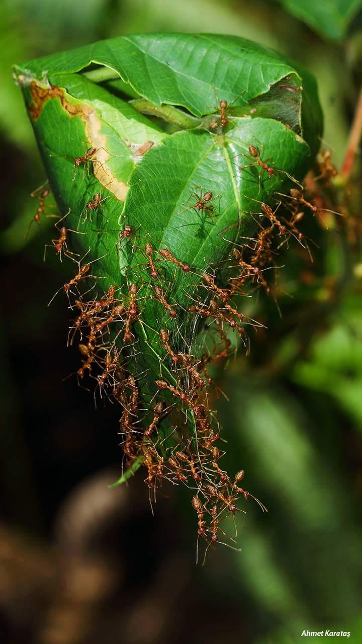 Karıncalar ve Karınca Türleri
