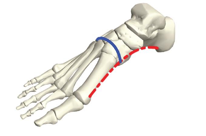 İnsanların dik yürüyüşünü kolaylaştıran 3.4 milyon yıllık özellik